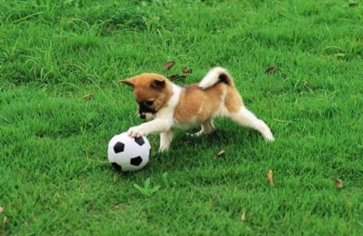 动物 足球 gif